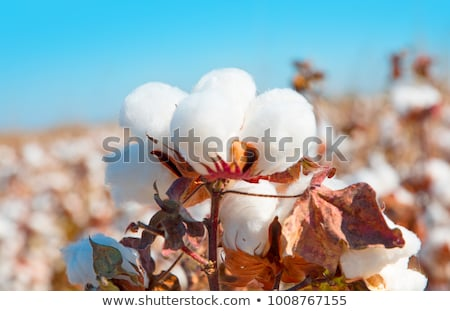 新鮮な 白 綿 準備 収穫 工場 ストックフォト © juniart