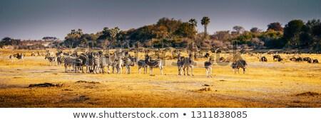 Afryki krajobraz Botswana dramatyczny drzew deszcz Zdjęcia stock © romitasromala