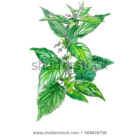 watercolor illustration of a bush of stinging nettles Stock photo © artibelka
