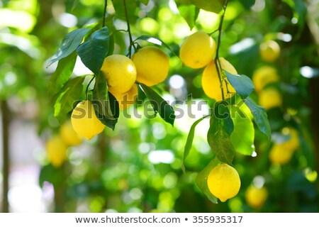 желтый · тополь · листьев · Blue · Sky · дерево · подробность - Сток-фото © daboost