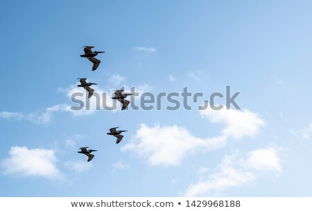 group of pelicans flying in formation Stock photo © taviphoto