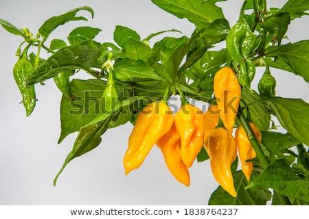 Habanero Pepper Stock photo © Camel2000