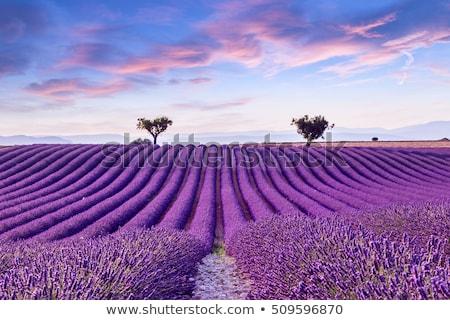Lavendel veld zomer zonsondergang landschap twee boom Stockfoto © vwalakte