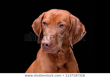 Stock photo: Hungarian vizsla portrait in dark background