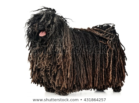 happy puli enjoy the white studio stock photo © vauvau
