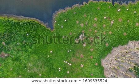 自然 · 池 · 白鳥 · 白 · スイミング · オランダ語 - ストックフォト © stevanovicigor