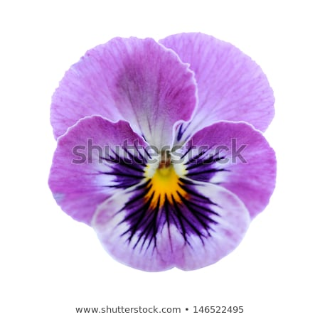 Stock photo: fresh color pansies flowers