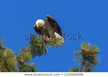 American Bald Eagle (Haliaeetus leucocephalus) perched on a pine tree. Stock photo © yhelfman