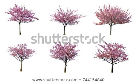 big isolated cherry tree on a white background stock photo © zerbor