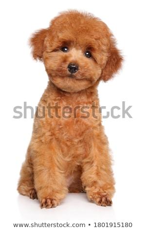 белый пудель собака сидят иллюстрация улыбка Сток-фото © bluering