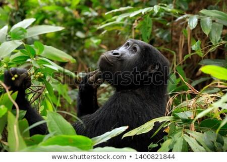 Przyrody goryl zwierząt lasu baby zielone Zdjęcia stock © OleksandrO