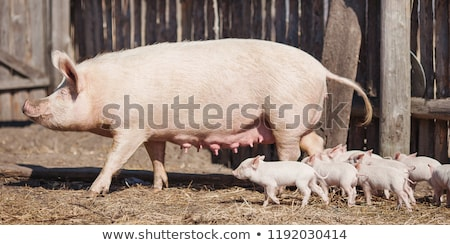 Piglets and sow Stock photo © Klinker