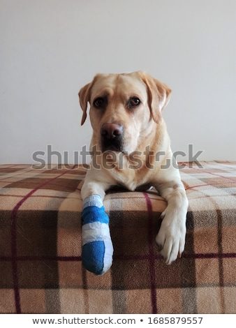 Cute labrador puppy dog with bandage on its paw resting in the a Stock photo © ilona75