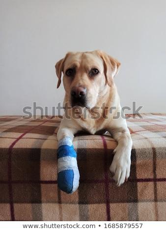 Bonitinho labrador cachorro cão bandagem pata Foto stock © ilona75