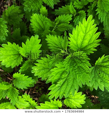 Nettle leaves with extract Stock photo © bdspn