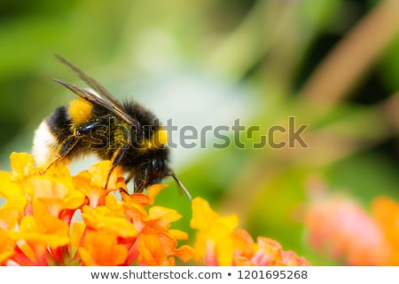 Northern white-tailed bumblebee on a lantana flower Stock photo © manfredxy