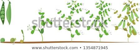 Hayat devir taze fasulye örnek çiçek arka plan Stok fotoğraf © colematt