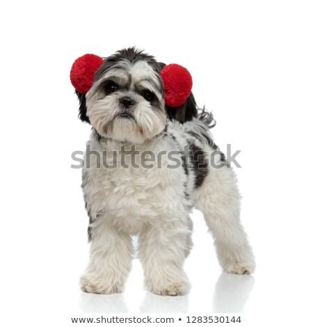 furry shih tzu wears red earmuffs and looks to side Stock photo © feedough