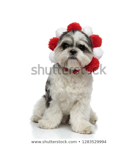funny shih tzu wearing red and white crown sitting Stock photo © feedough