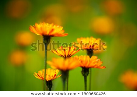 Résumé alpine fleurs nature parc alpes Photo stock © cookelma