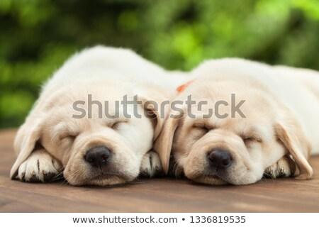 labrador · retriever · dormir · cute · peu · noir · blanche - photo stock © ilona75