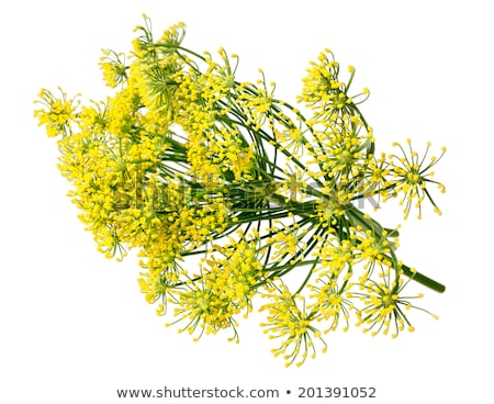 Dill flowers on white Stock photo © AGfoto