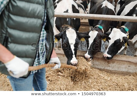 Small group of black-and-white dairy cows eating fresh hay from hayfork Stock photo © pressmaster