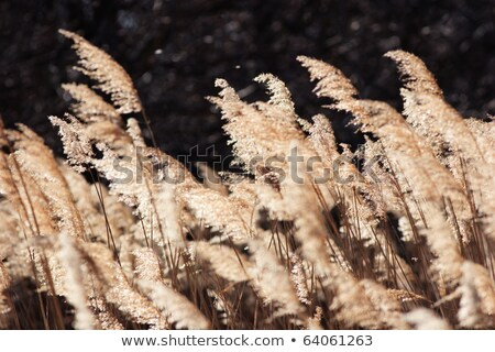 Tall Sunlit Marsh Reeds Stock photo © mackflix