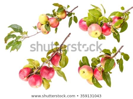 három · piros · almák · fa · rózsás · faág - stock fotó © elenarts