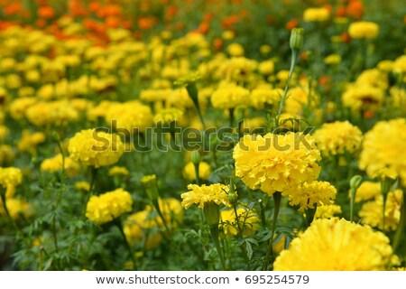 virágok · fehér · természet · szépség · gyógyszer · fej - stock fotó © lianem