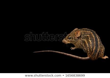 striped grass mouse Stock photo © prill