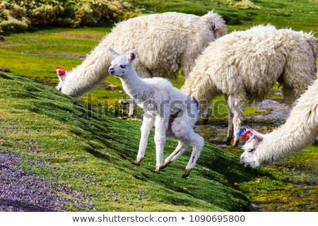 Young lama Stock photo © AlessandroZocc