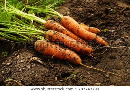 friss · retek · föld · zöldség · kert · zöld - stock fotó © stevanovicigor