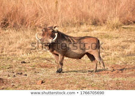 warthogs in Africa Stock photo © prill