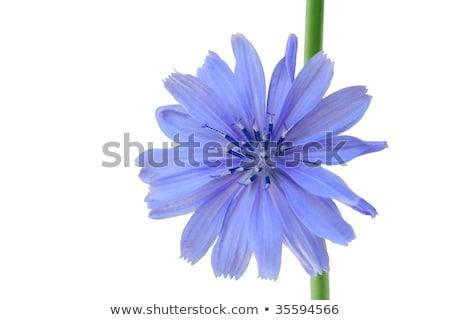 chicory and chrysanthemum stock photo © yul30