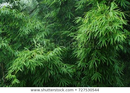 bambusz · liget - stock fotó © varts