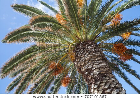 Pálmafa narancs gyümölcsök kék ég fényes égbolt Stock fotó © ptichka