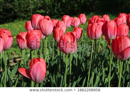 Tavasz rózsaszín tulipánok szimbolikus szezonális friss Stock fotó © juniart