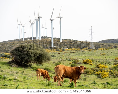 Cows grazing near wind turbines Stock photo © 5xinc