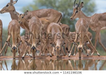 drinking impala in waterhole stock photo © romitasromala