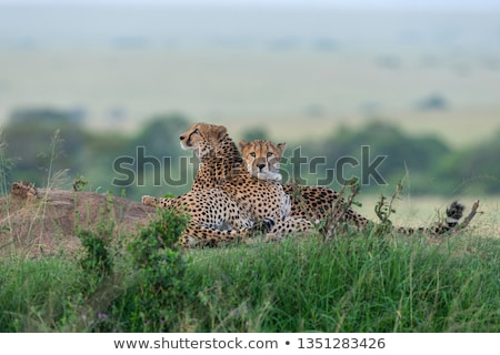 cheetah relaxing stock photo © morrbyte