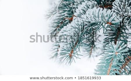 Ladin kar yeşil şube kış doğa Stok fotoğraf © bendzhik