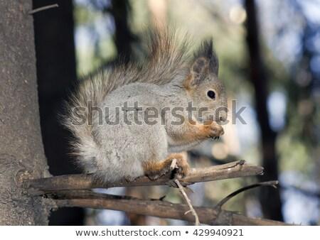 Ciekawy czerwony wiewiórki kamienie duży Zdjęcia stock © dariazu