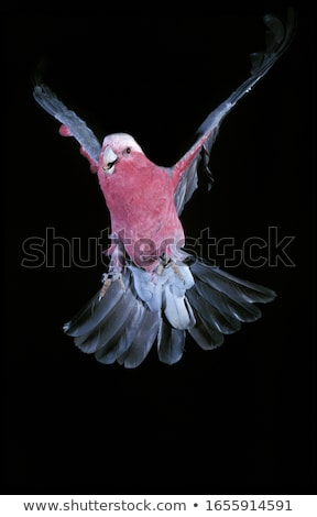 Galah (Eolophus roseicapilla) Stock photo © dirkr