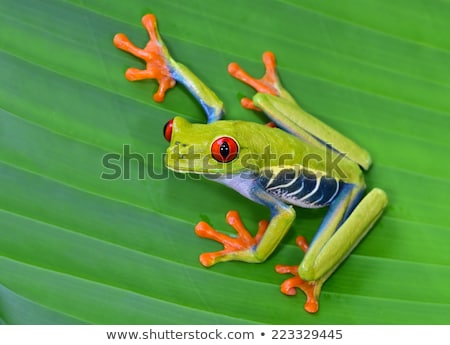 Red Eyed Tree Frog on Leaves Stock photo © jeffmcgraw