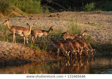 Stock fotó: Iszik · park · Dél-Afrika · állatok · fotózás