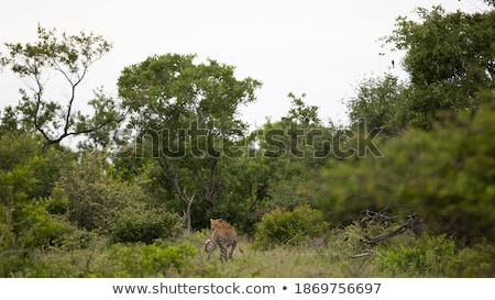 a leopard looking back in a tree in the kruger stock photo © simoneeman