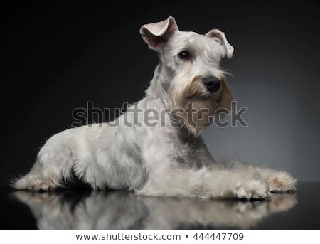 sweet white miniature schnauzer in the grey photo studio stock photo © vauvau