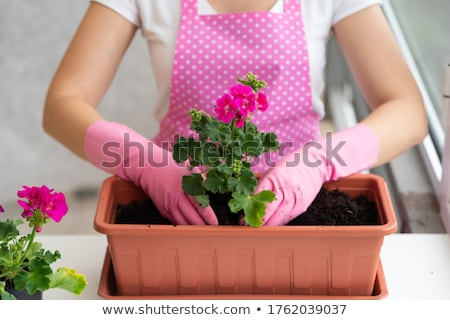 Geranium plant Stock photo © IMaster
