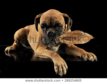 puppy boxer lying in a black studio with pig ear Stock photo © vauvau